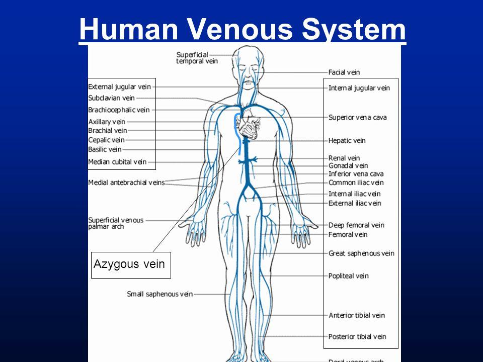 Human Venous System Azygous vein