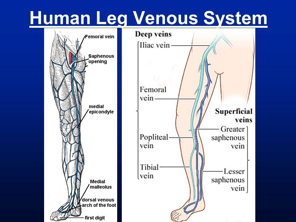 Human Leg Venous System