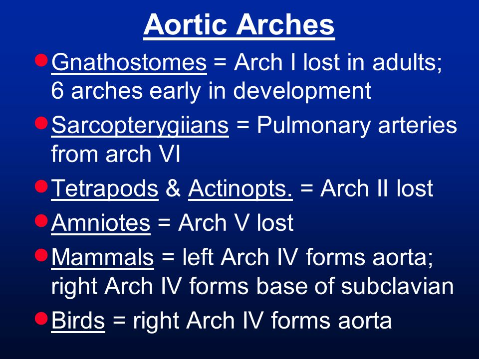 Aortic Arches Gnathostomes = Arch I lost in adults; 6 arches early in development. Sarcopterygiians = Pulmonary arteries from arch VI.