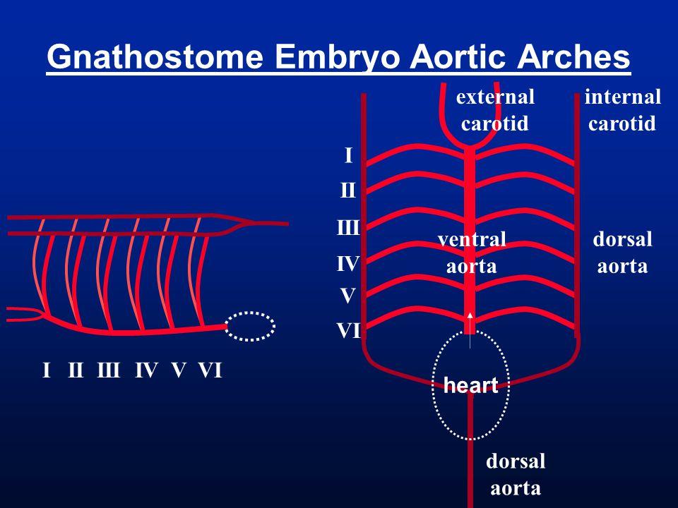 Gnathostome Embryo Aortic Arches