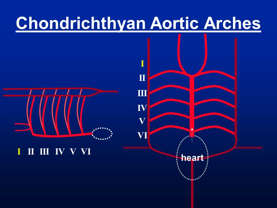 Chondrichthyan Aortic Arches