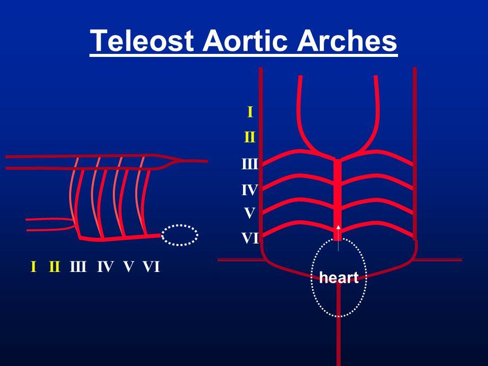 Teleost Aortic Arches I II III I II III IV V VI IV V VI heart