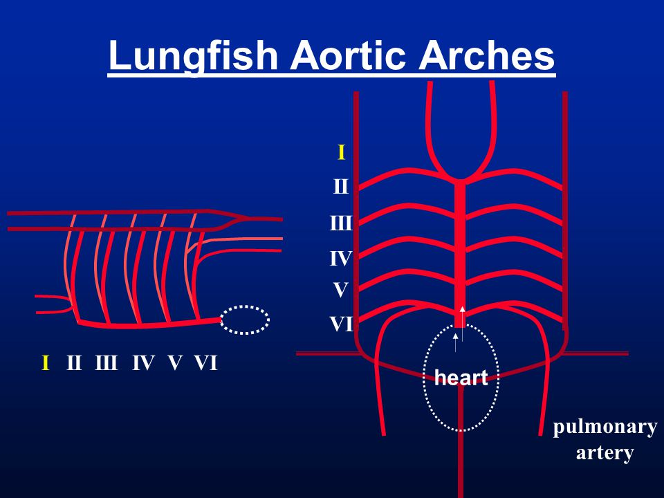 Lungfish Aortic Arches