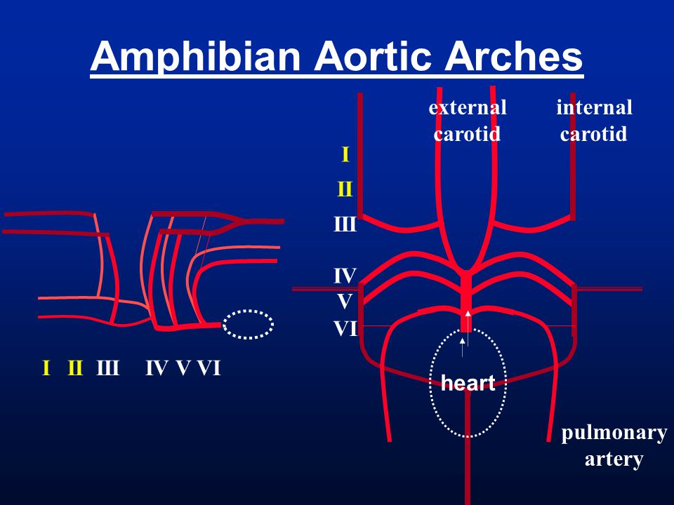 Amphibian Aortic Arches