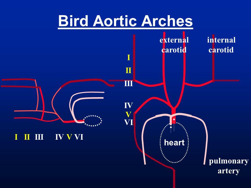 Bird Aortic Arches internal carotid external I II III I II III IV V VI
