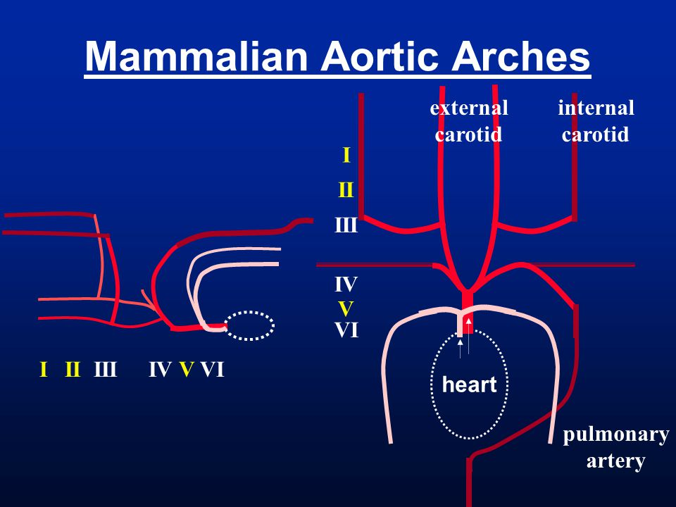 Mammalian Aortic Arches