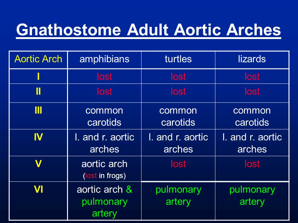 Gnathostome Adult Aortic Arches