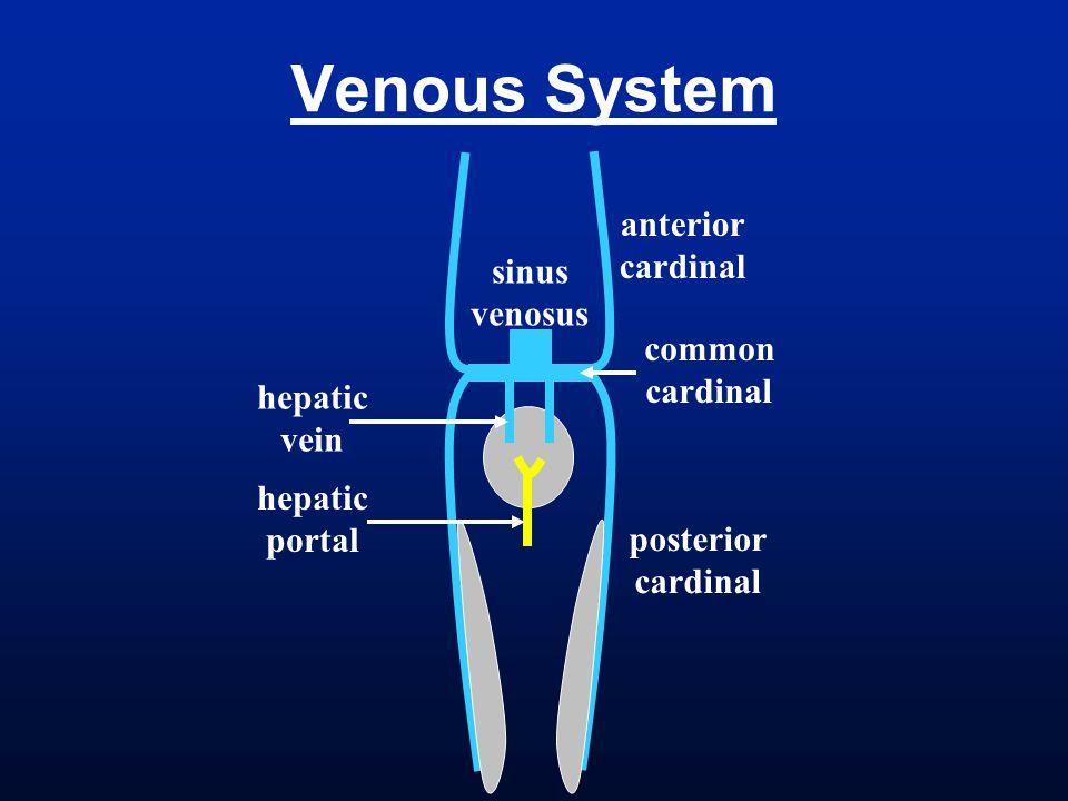 Venous System anterior cardinal sinus venosus common hepatic vein