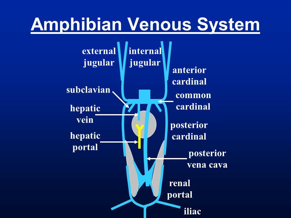 Amphibian Venous System
