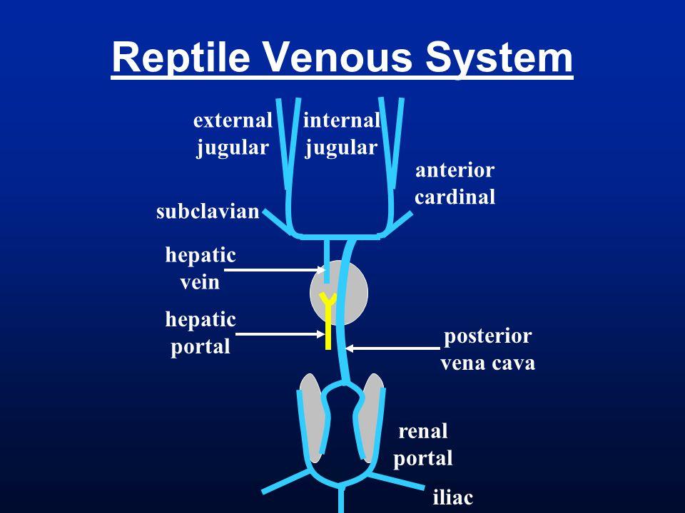 Reptile Venous System internal jugular external anterior cardinal
