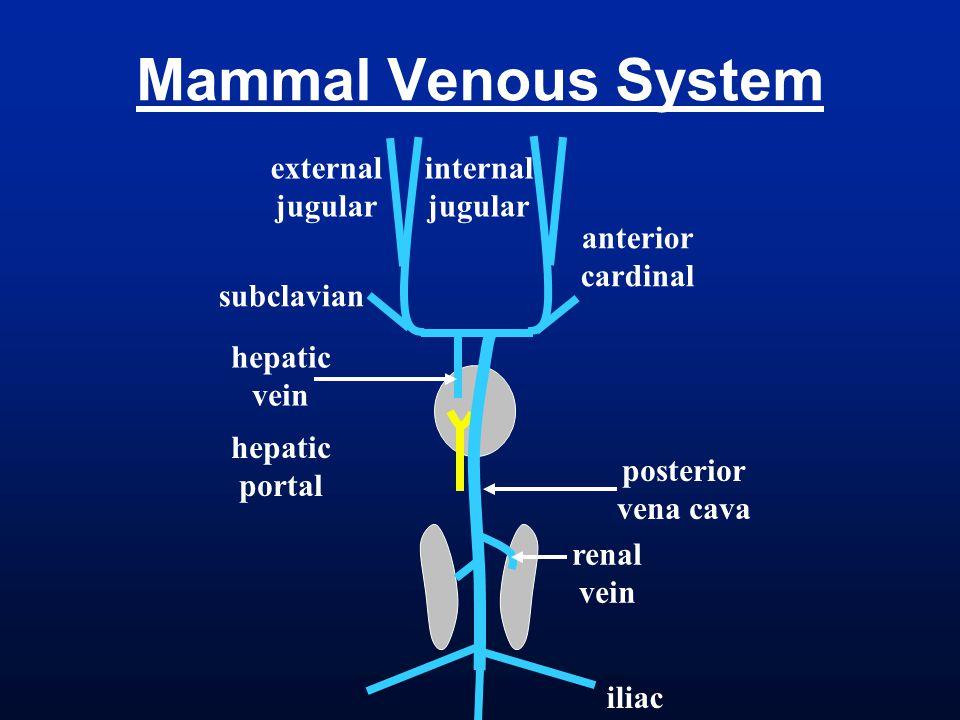 Mammal Venous System internal jugular external anterior cardinal