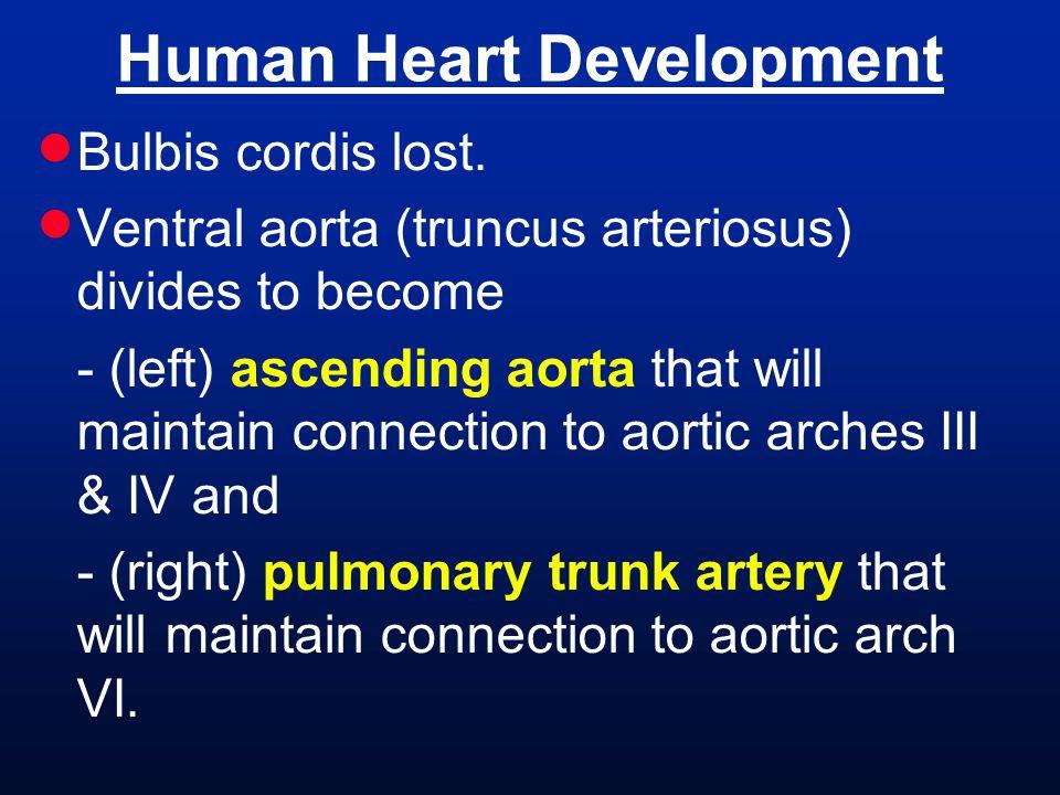 Human Heart Development