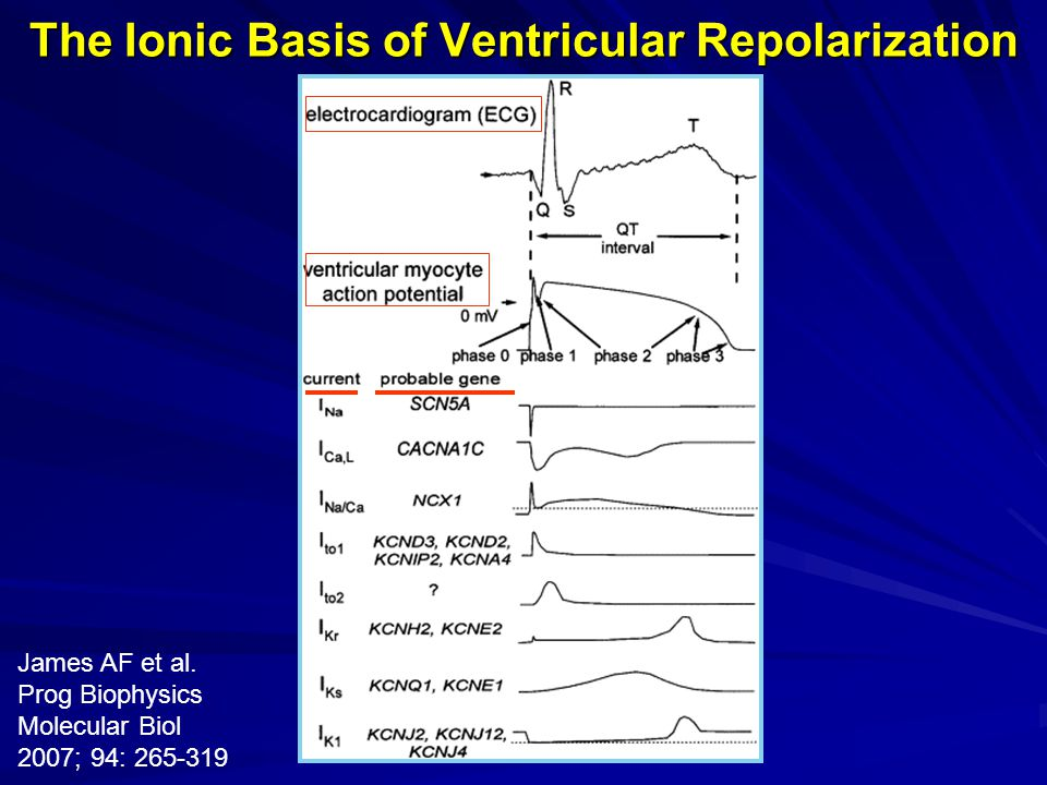 The Ionic Basis of Ventricular Repolarization