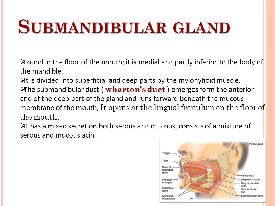 Submandibular gland Found in the floor of the mouth; it is medial and partly inferior to the body of the mandible.