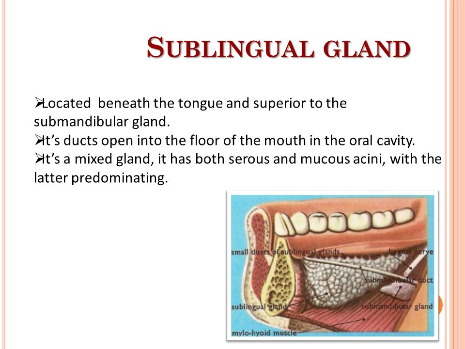 Sublingual gland Located beneath the tongue and superior to the submandibular gland.