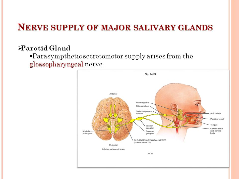 Nerve supply of major salivary glands
