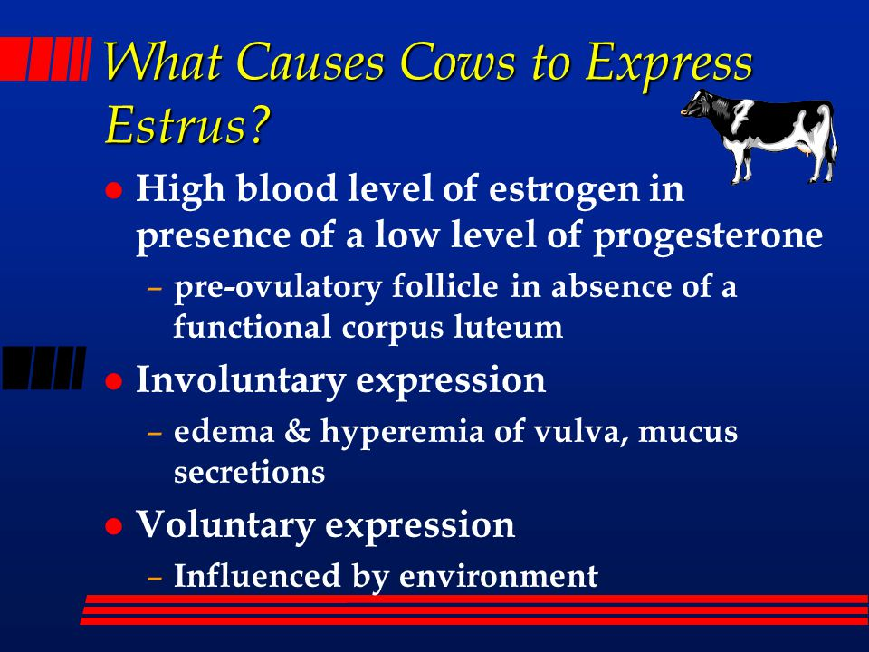 What Causes Cows to Express Estrus