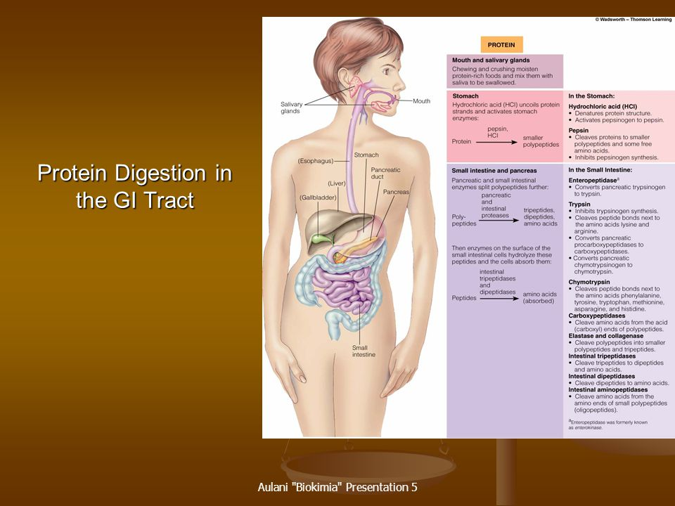 Protein Digestion in the GI Tract