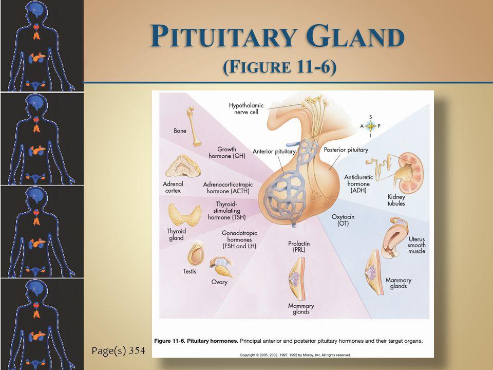 Pituitary Gland (Figure 11-6)