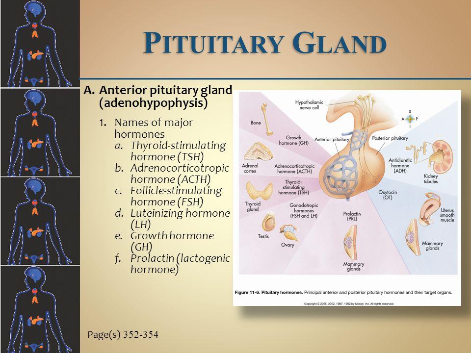 Pituitary Gland Anterior pituitary gland (adenohypophysis)
