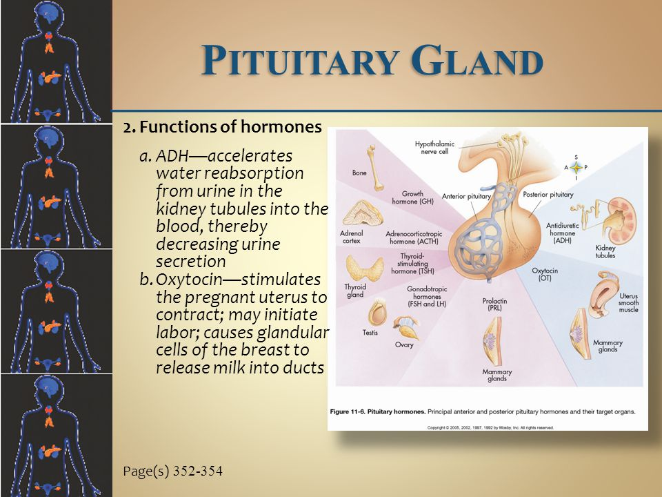 Pituitary Gland Functions of hormones