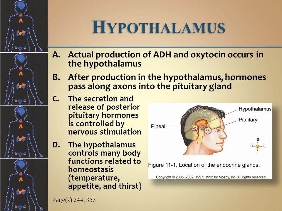 Hypothalamus Actual production of ADH and oxytocin occurs in the hypothalamus.