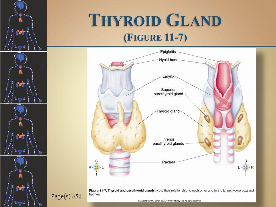 Thyroid Gland (Figure 11-7)