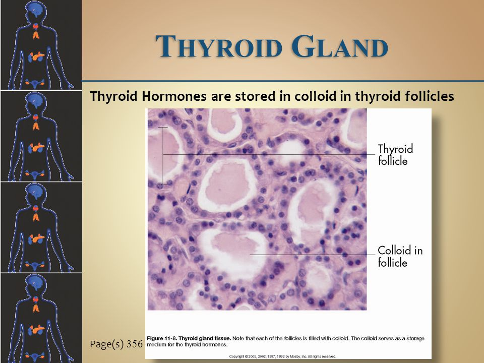 Thyroid Gland Thyroid Hormones are stored in colloid in thyroid follicles Page(s) 356