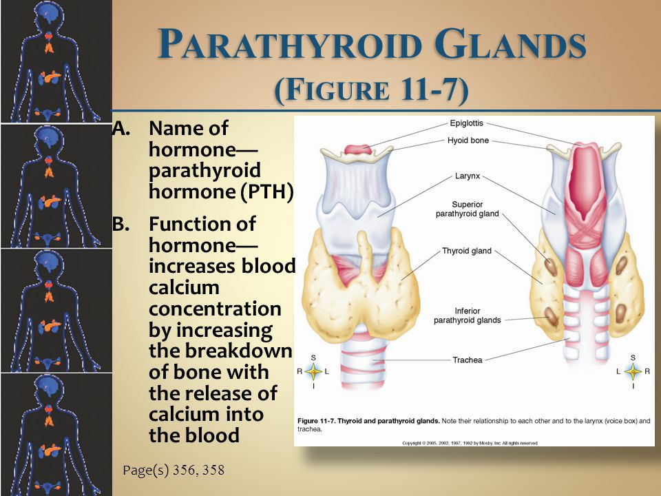 Parathyroid Glands (Figure 11-7)