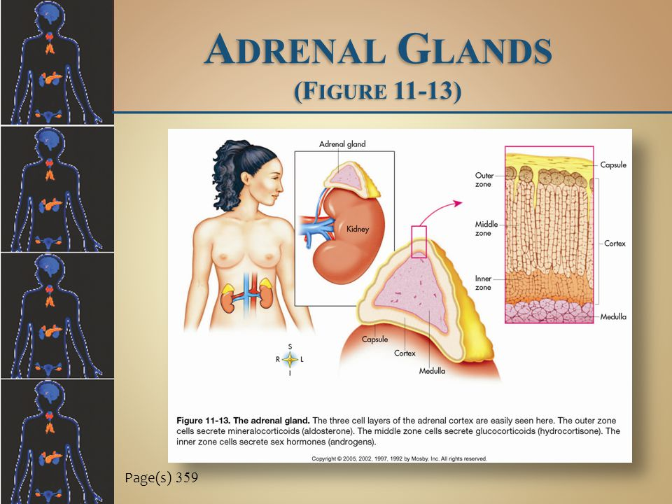 Adrenal Glands (Figure 11-13)