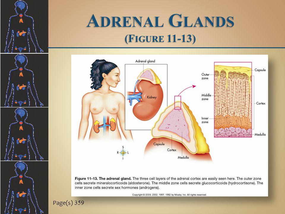 Adrenal Glands (Figure 11-13)