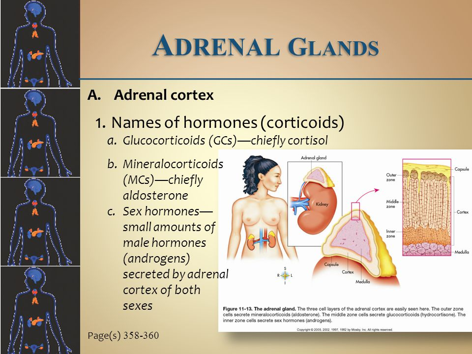 Adrenal Glands Names of hormones (corticoids) Adrenal cortex
