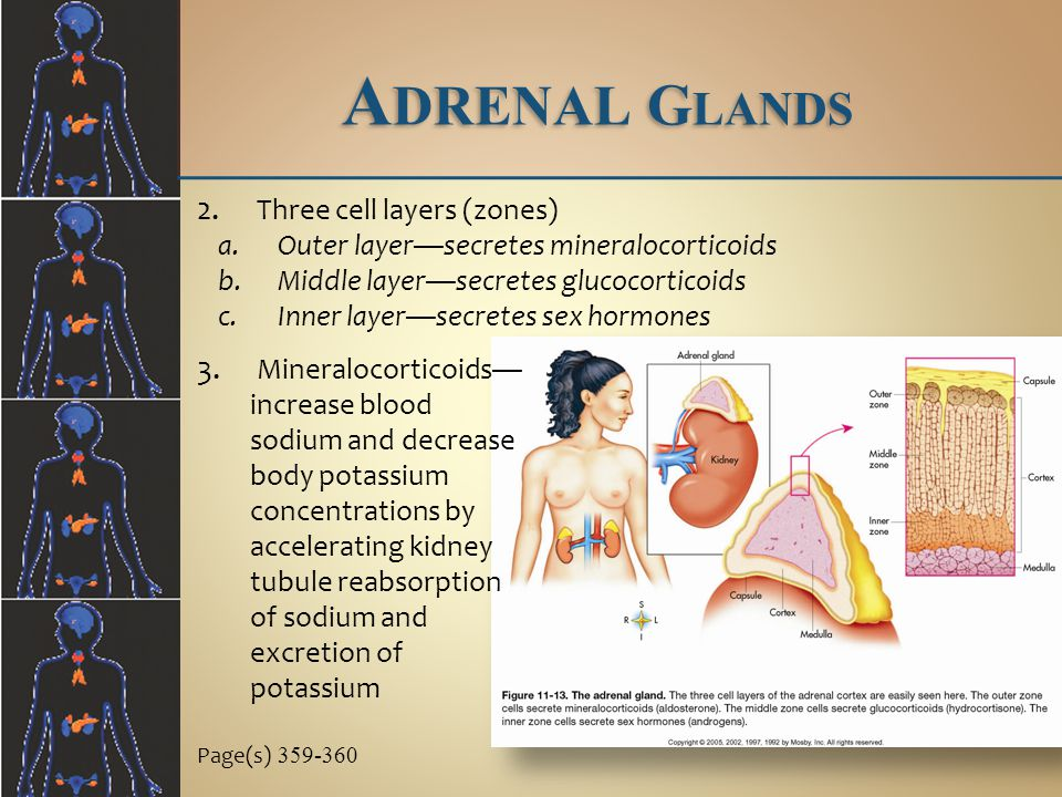 Adrenal Glands Three cell layers (zones)