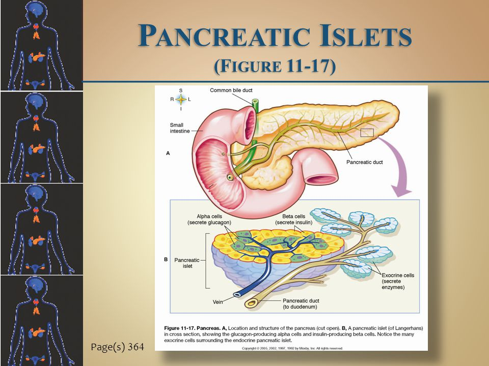 Pancreatic Islets (Figure 11-17)