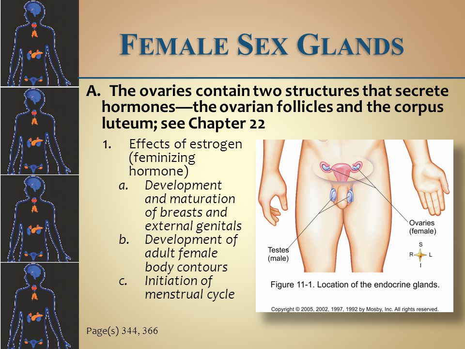 Female Sex Glands The ovaries contain two structures that secrete hormones—the ovarian follicles and the corpus luteum; see Chapter 22.