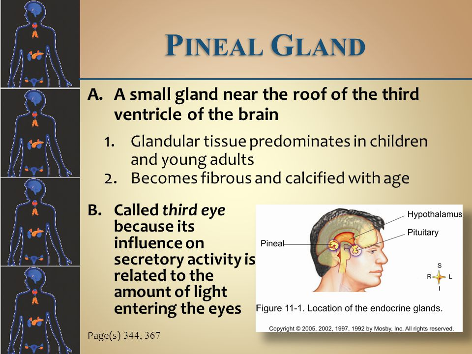 Pineal Gland A small gland near the roof of the third ventricle of the brain. Glandular tissue predominates in children and young adults.