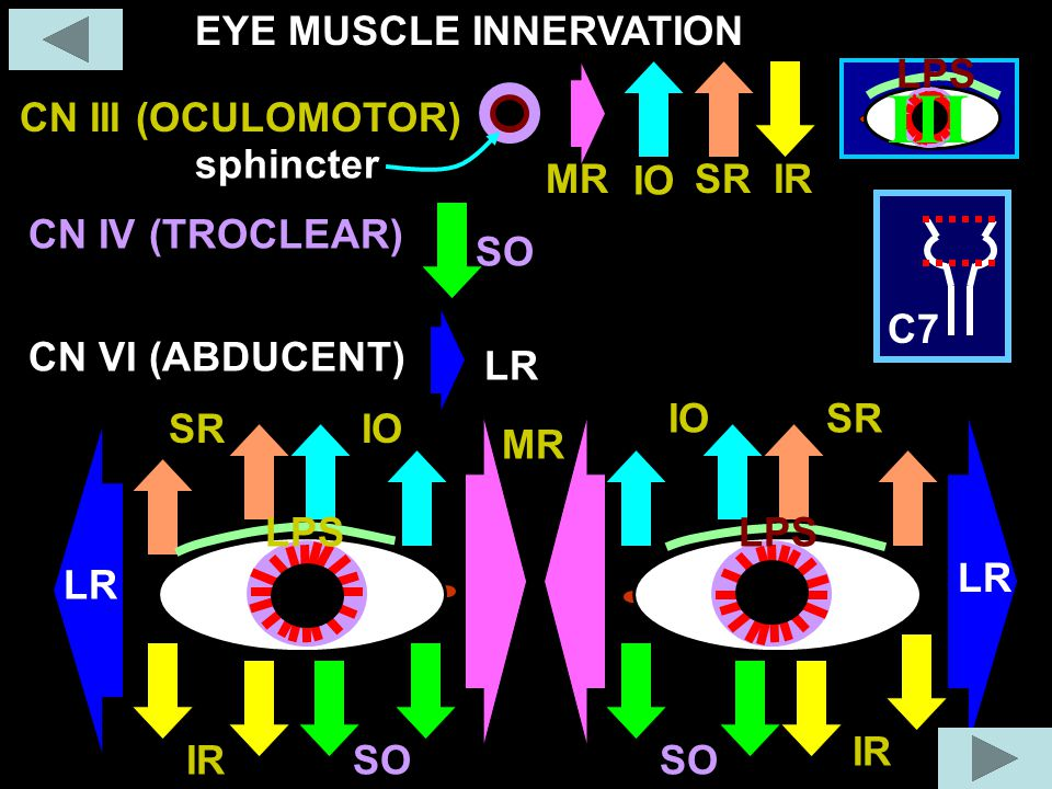 III EYE MUSCLE INNERVATION LPS CN III (OCULOMOTOR) sphincter MR IO SR