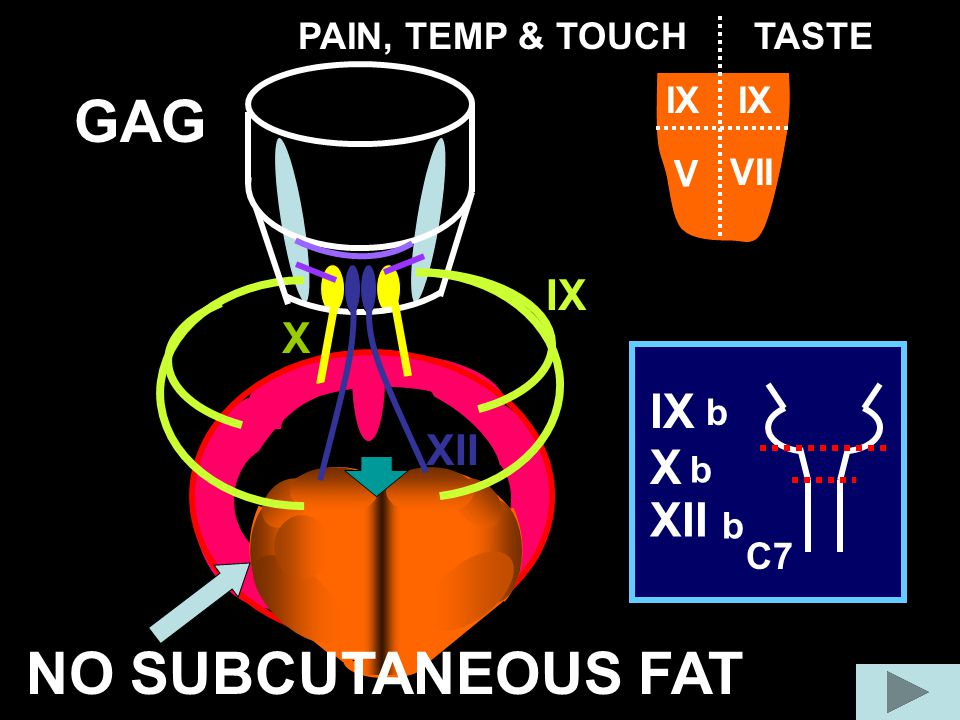 GAG NO SUBCUTANEOUS FAT IX X XII IX X XII PAIN, TEMP & TOUCH TASTE IX