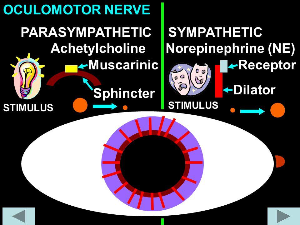 OCULOMOTOR NERVE PARASYMPATHETIC SYMPATHETIC Achetylcholine