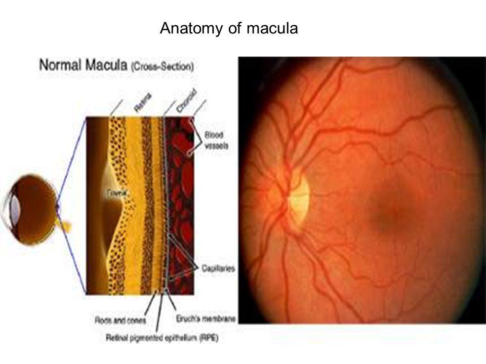 Anatomy of macula