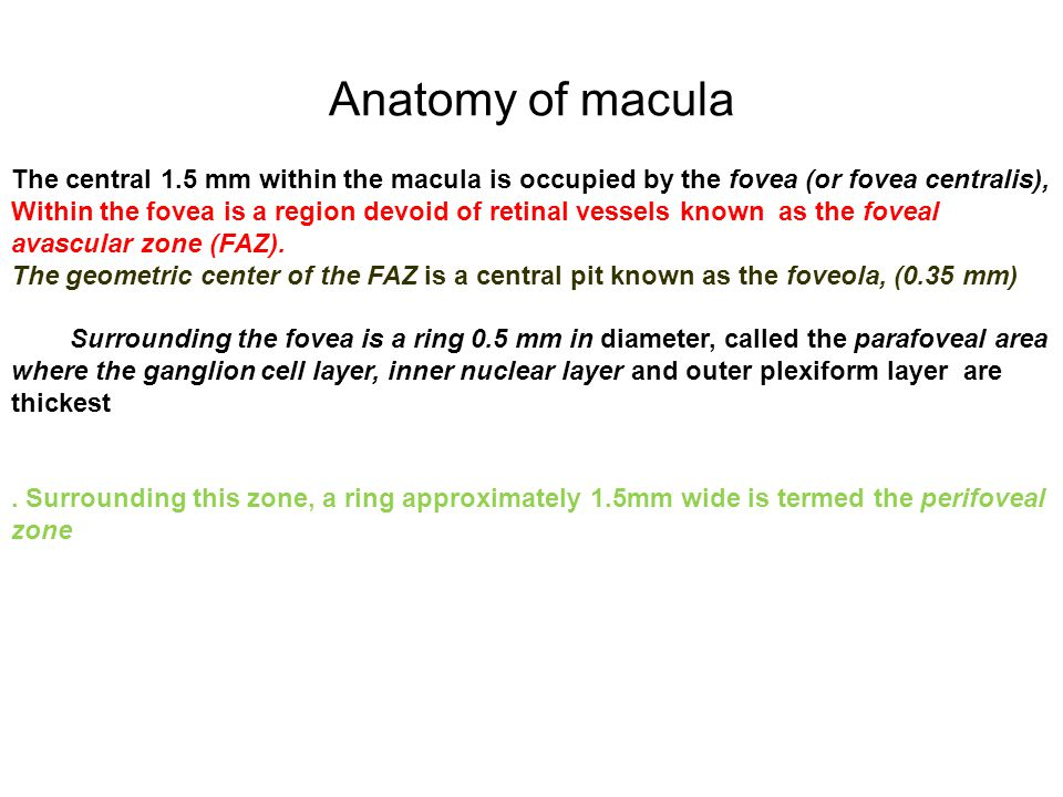 Anatomy of macula The central 1.5 mm within the macula is occupied by the fovea (or fovea centralis),