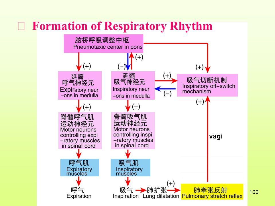 Ⅱ Formation of Respiratory Rhythm