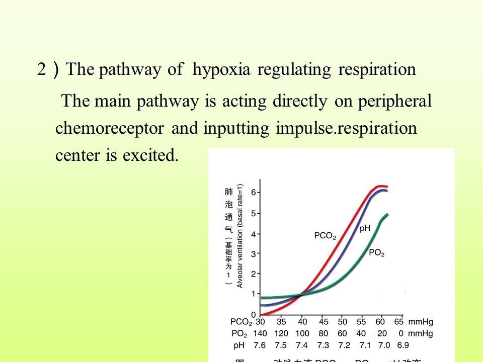 2)The pathway of hypoxia regulating respiration