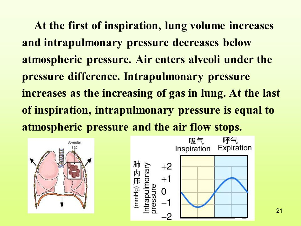 At the first of inspiration, lung volume increases and intrapulmonary pressure decreases below atmospheric pressure.