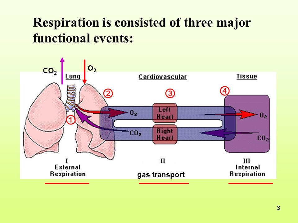 Respiration is consisted of three major functional events: