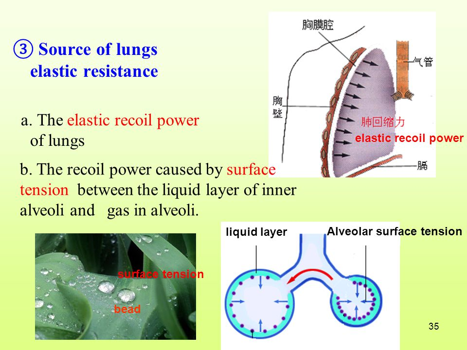 ③ Source of lungs elastic resistance