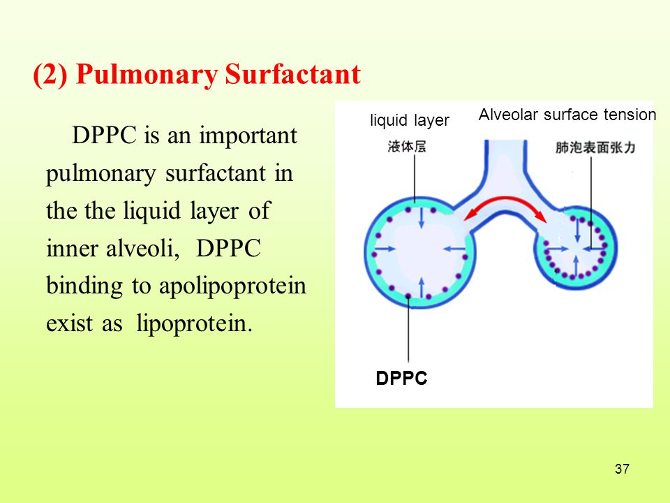 (2) Pulmonary Surfactant