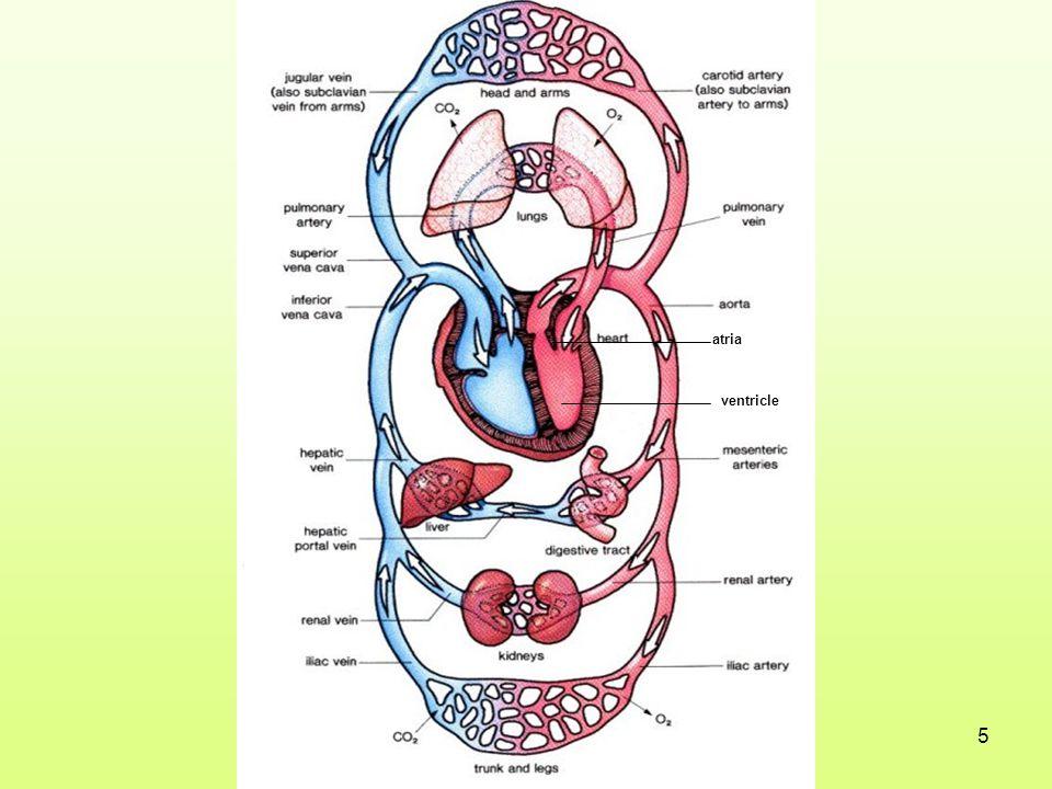 atria ventricle