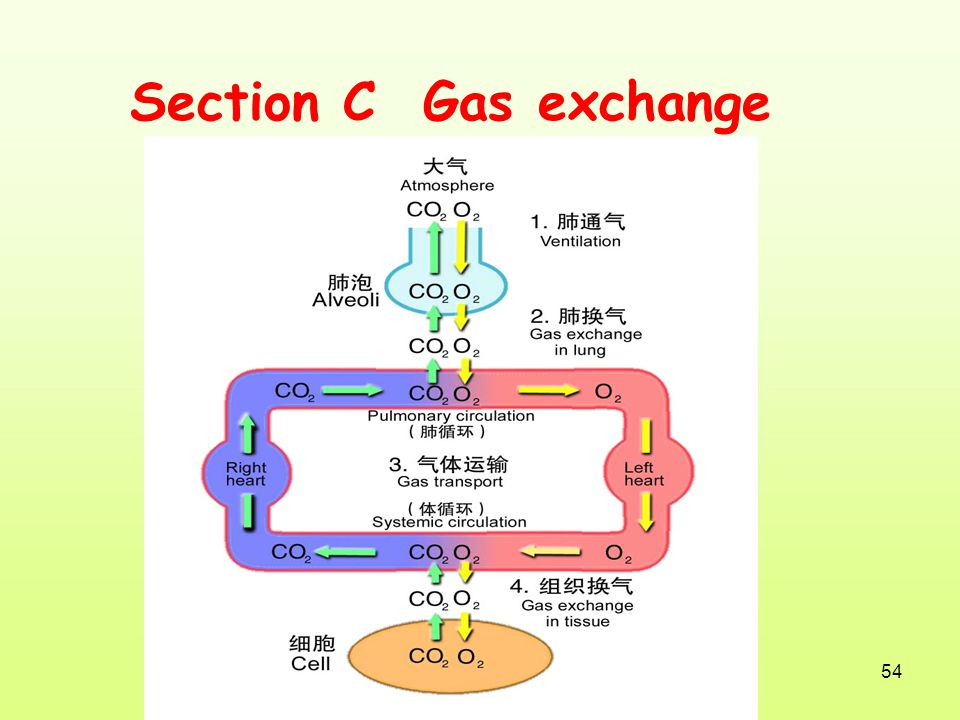 Section C Gas exchange