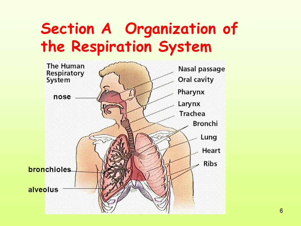 Section A Organization of the Respiration System